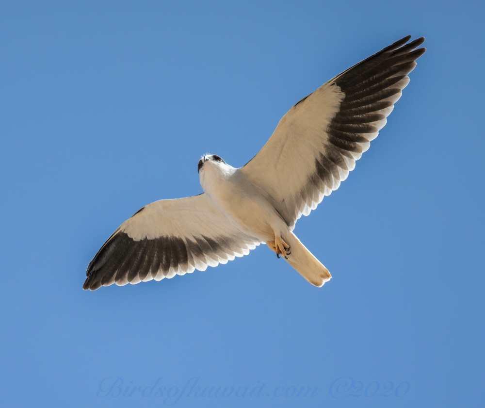 Eurasian Sparrowhawk in flight
