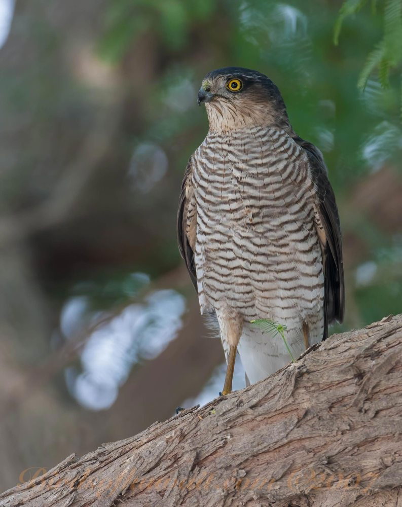 Eurasian Sparrowhawk Accipiter nisus perching on a tree trunk