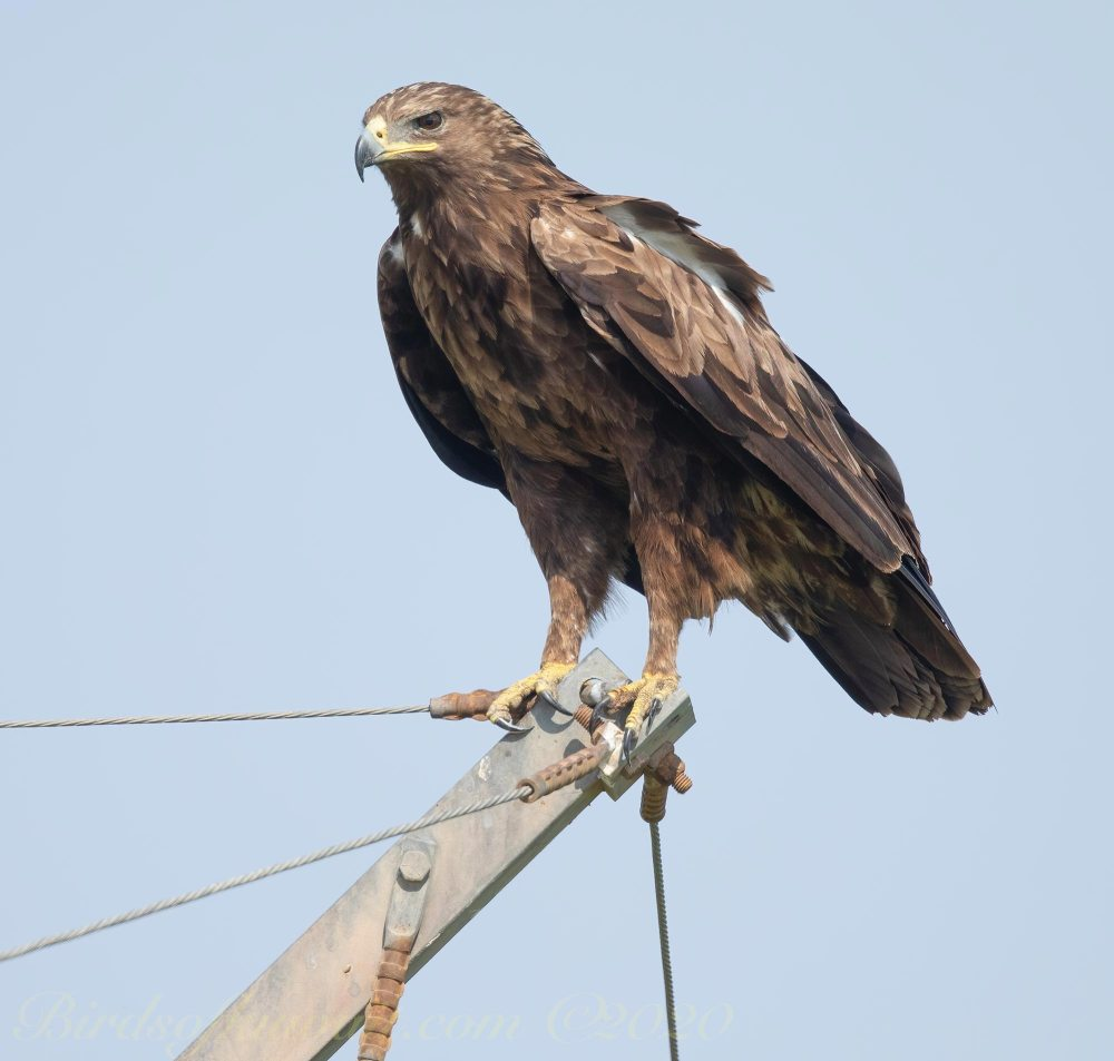 Greater Spotted Eagle on pylon