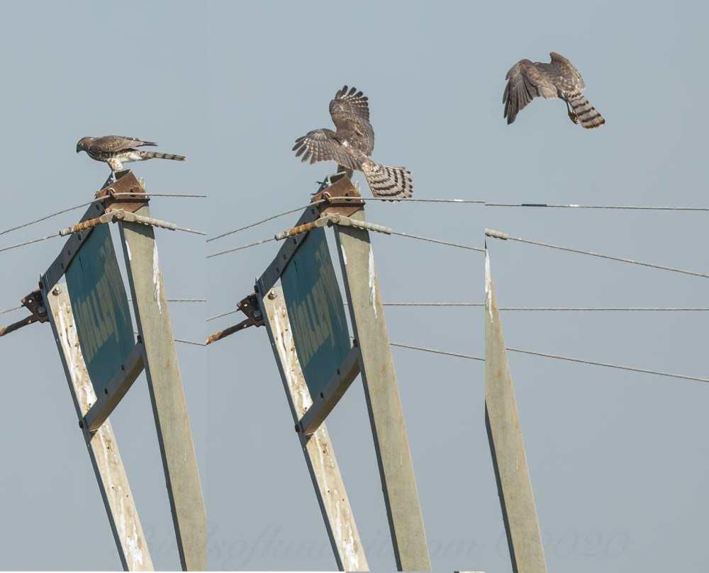 Shikra landing on signpost