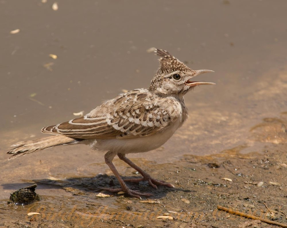 A juvenile Crested Lark standing near a pool