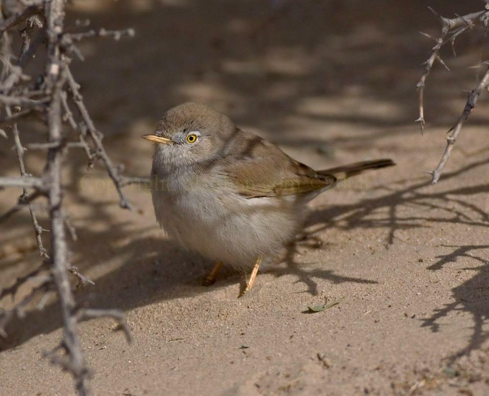 Asian Desert Warbler on ground