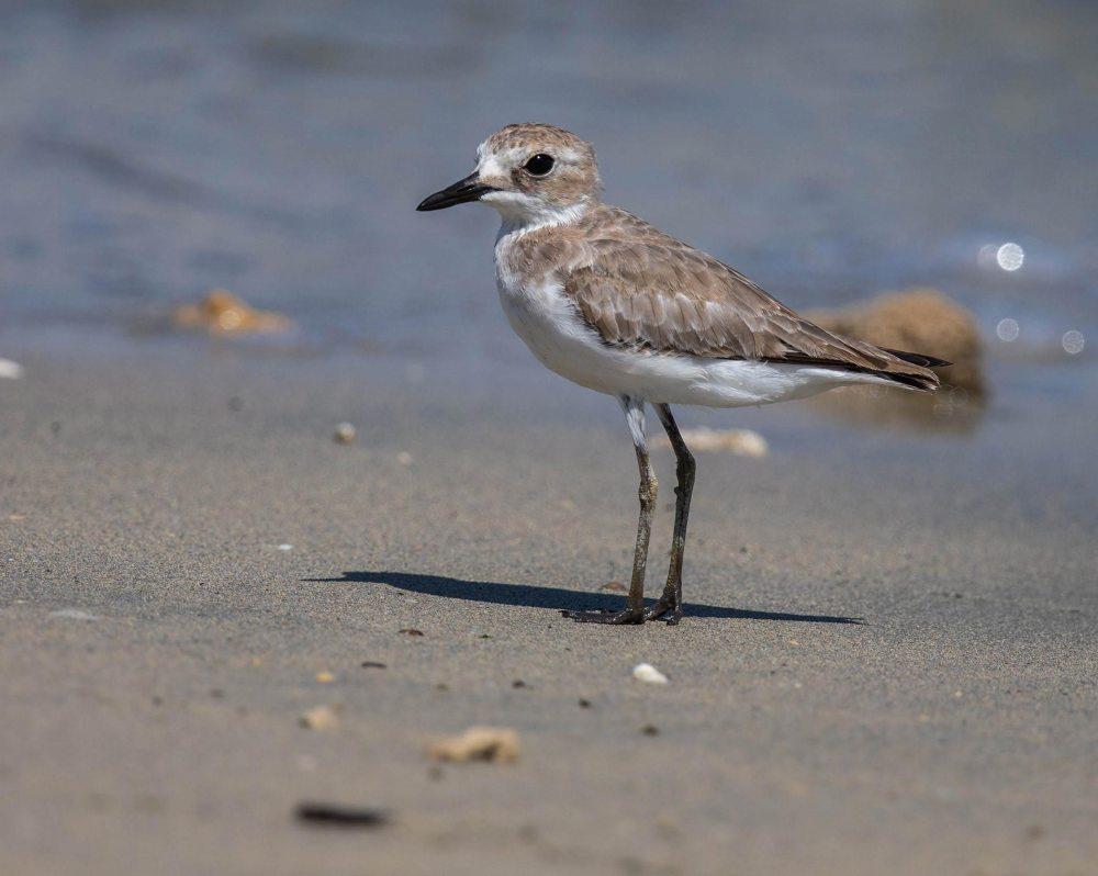 Greater Sand Plover  standing near shorline