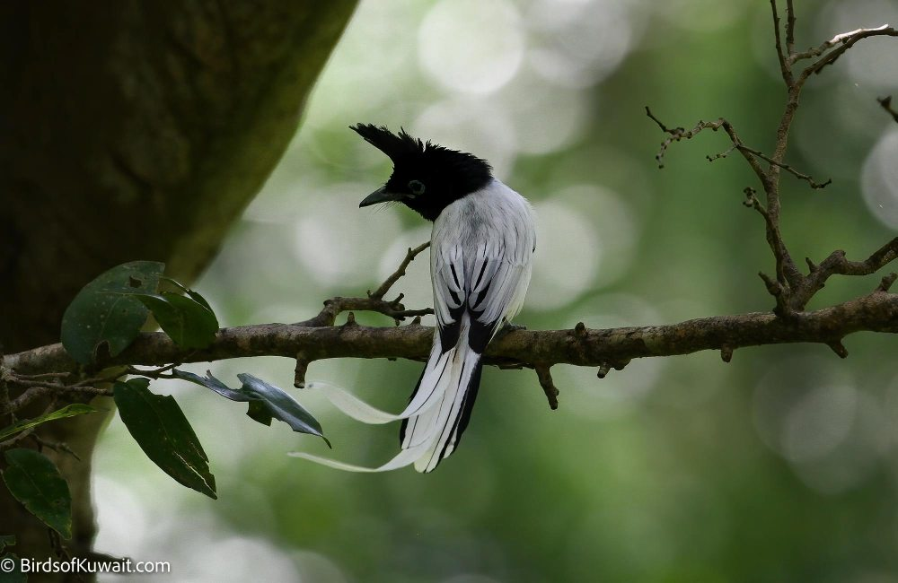 Indian Paradise-Flycatcher Terpsiphone paradisi