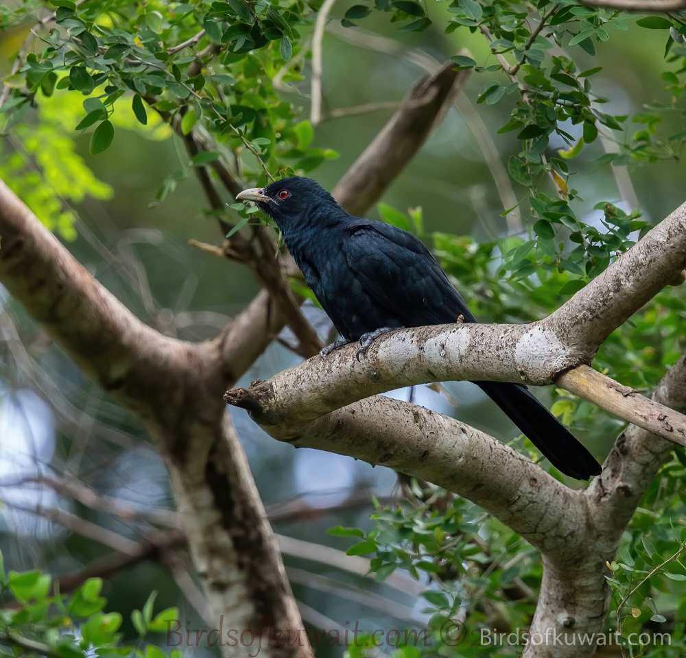 Asian Koel Eudynamys scolopaceus