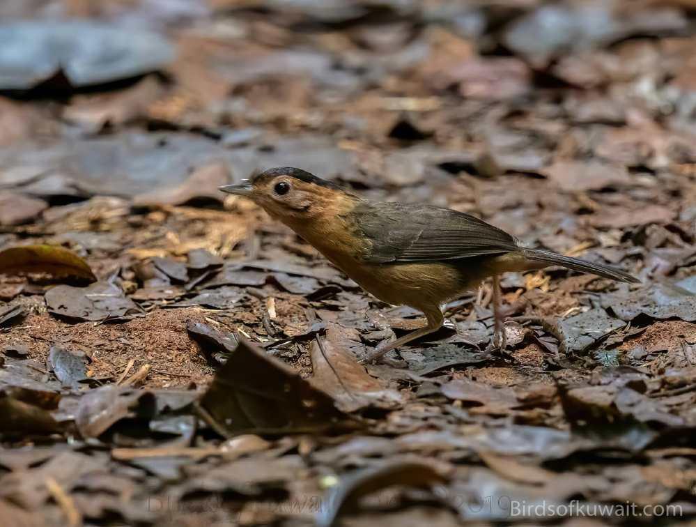 Brown-capped Babbler Pellorneum fuscocapillus