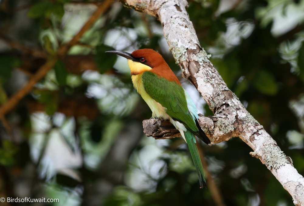 Chestnut-headed Bee-eater Merops leschenaulti