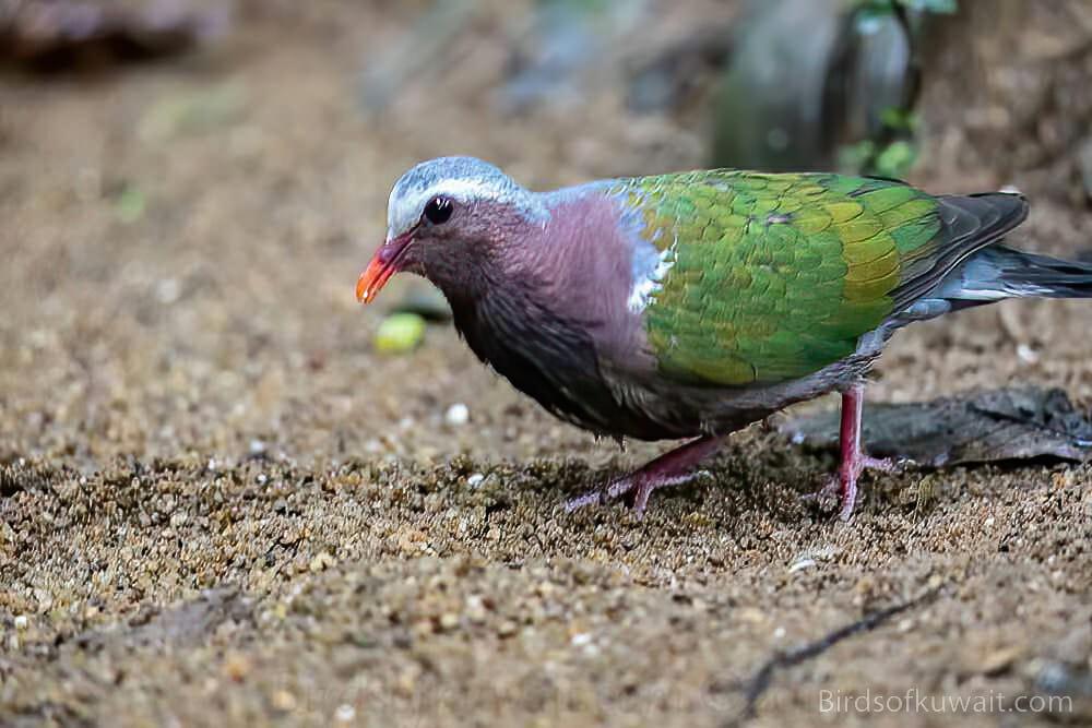 Asian Emerald Dove Chalcophaps indica