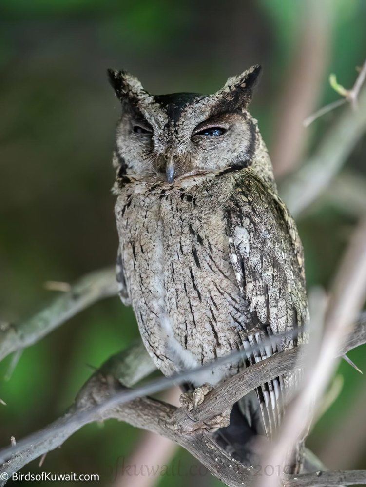 Indian Scops Owl  perched on a tree