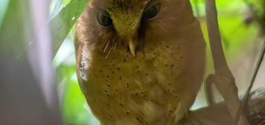 Serendib Scops Owl Otus thilohoffmanni