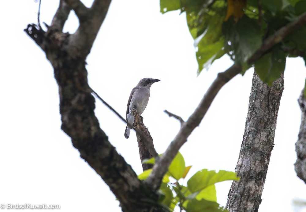Sri Lanka Woodshrike Tephrodornis affinis