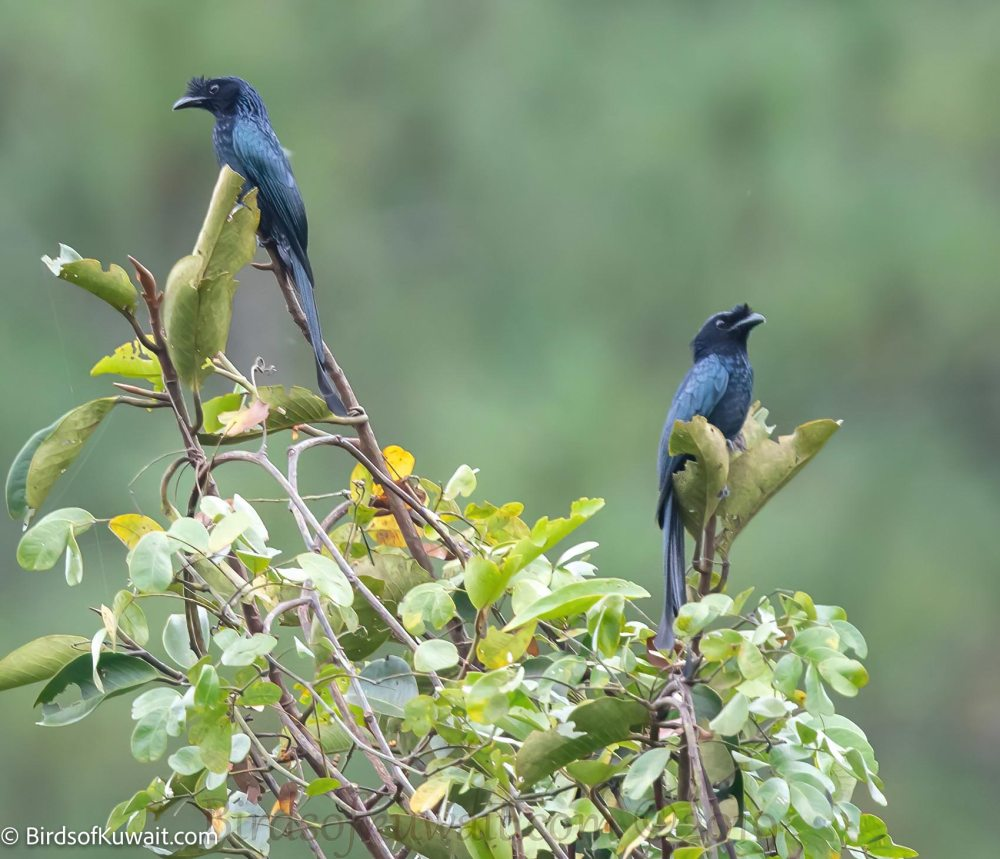 Sri Lanka Drongo Dicrurus lophorinus
