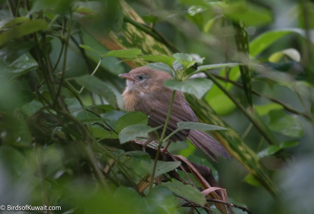 Tawny-bellied Babbler Dumetia hyperythra