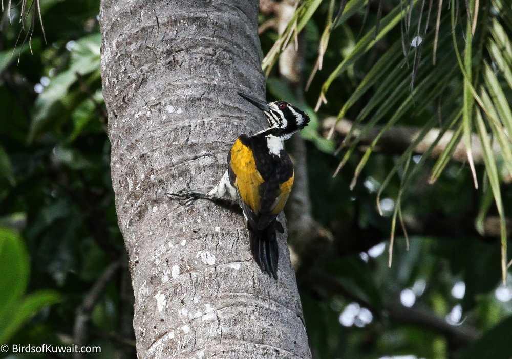 White-naped Woodpecker Chrysocolaptes festivus