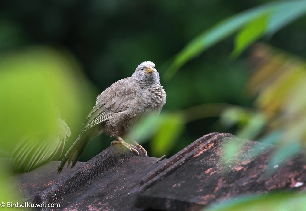 Yellow-billed Babbler Turdoides affinis