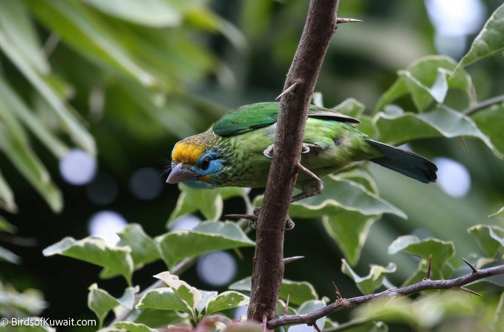Yellow-fronted Barbet Psilopogon flavifrons