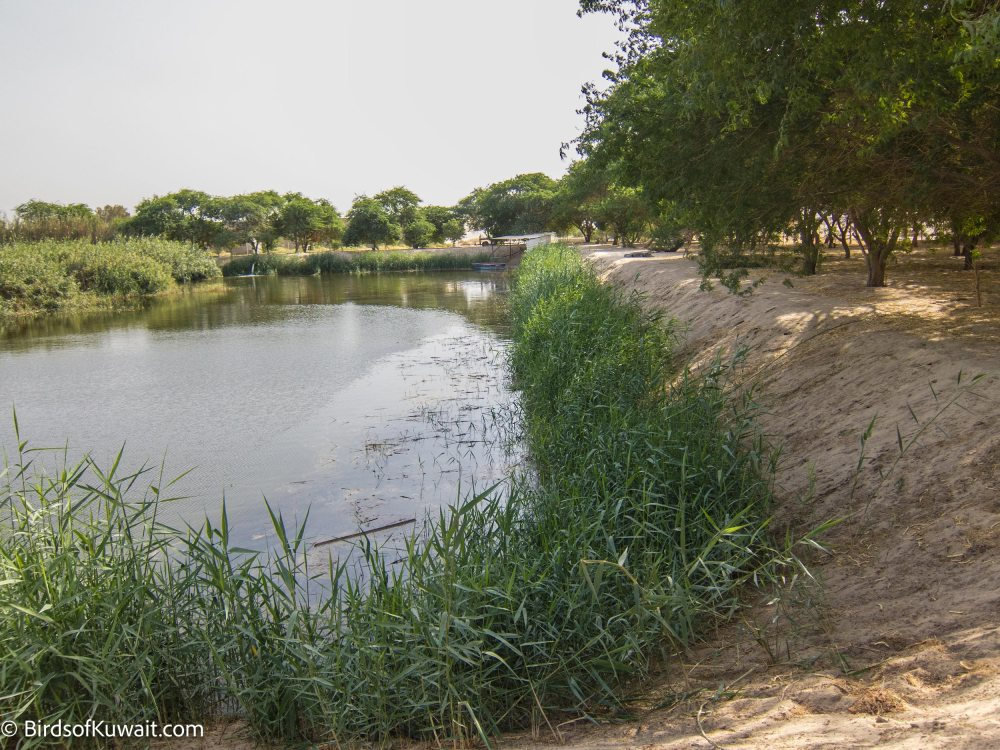 The crocodile pond inside Sulaibiya Pivot Fields