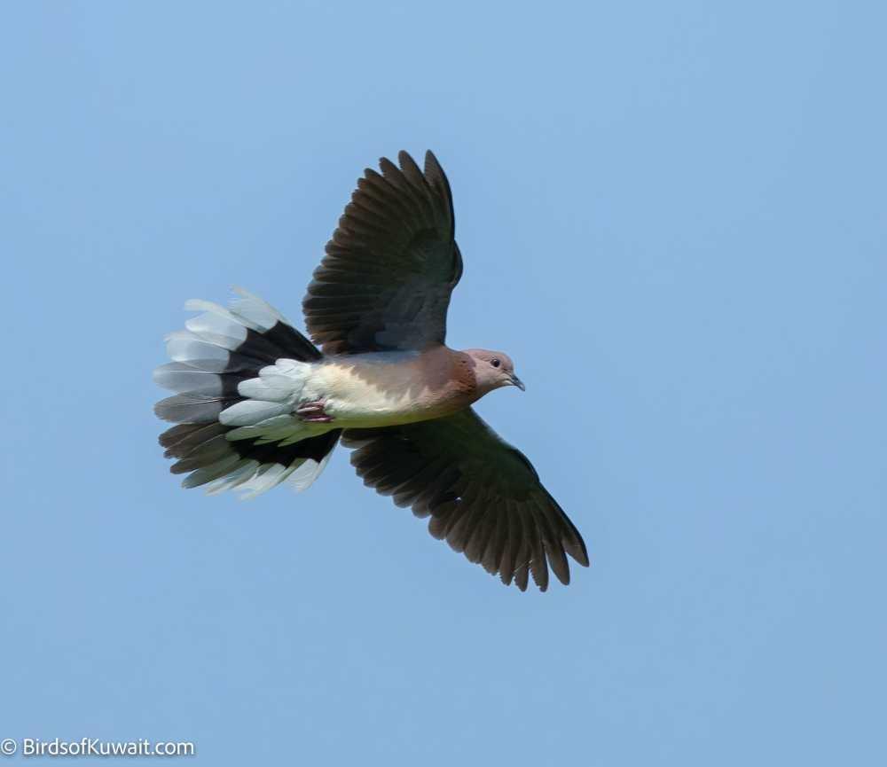 Laughing Dove Spilopelia senegalensis