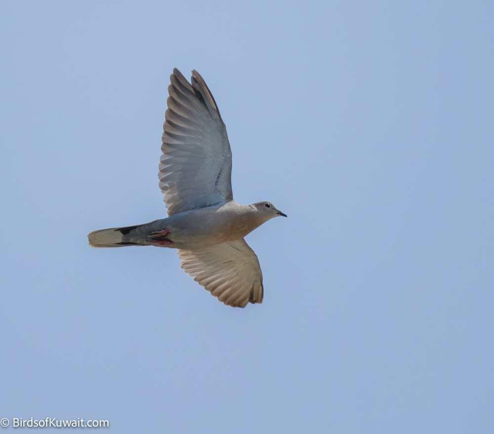 Eurasian Collared Dove Streptopelia decaocto