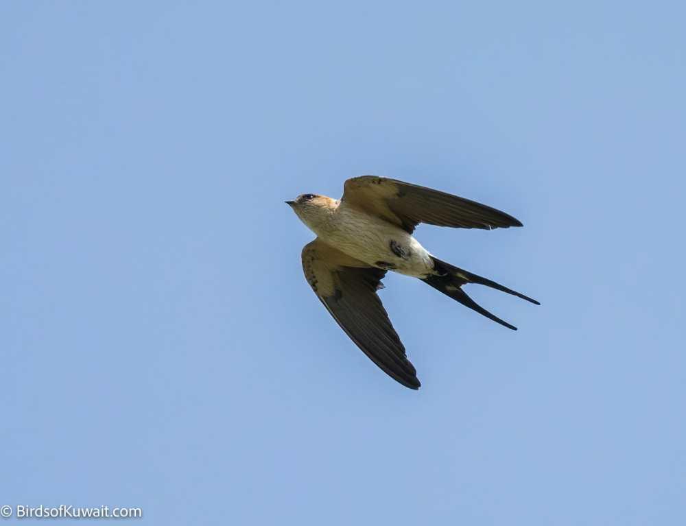 Red-rumped Swallow Cecropis daurica