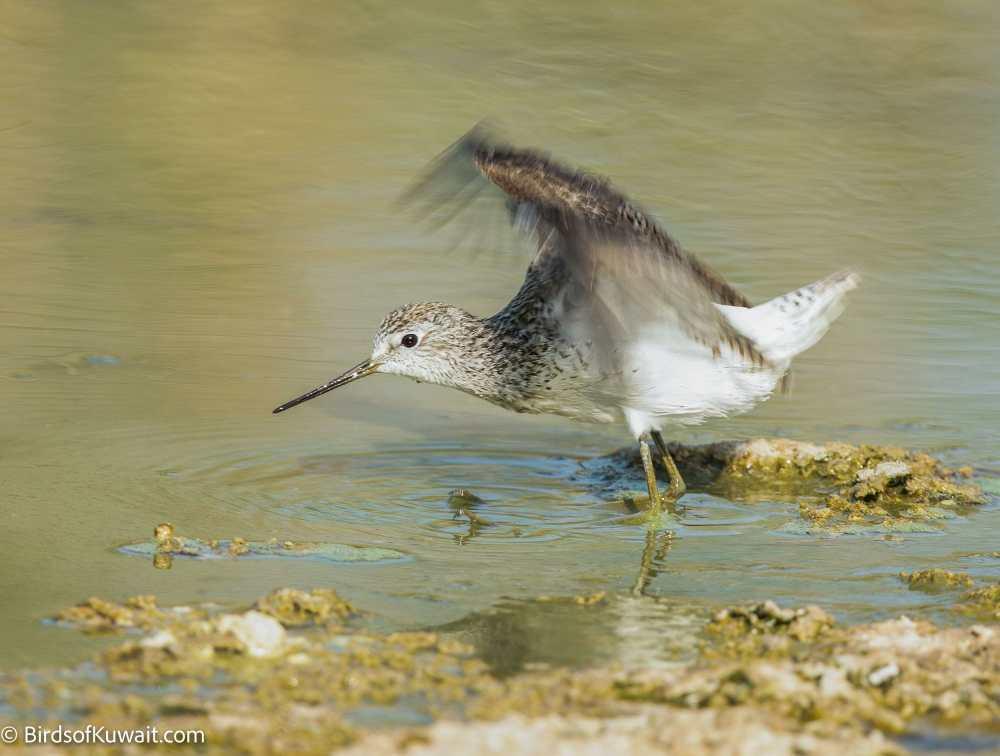 Marsh Sandpiper Tringa stagnatilis