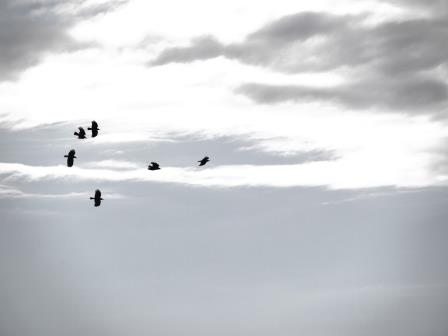 Choughs at Sorel, May 2014. Photo by Liz Corry