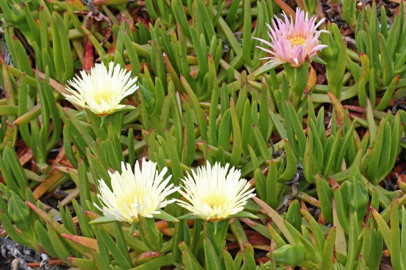 Hottentot fig at La Rosiere. Photo by Tim Wright