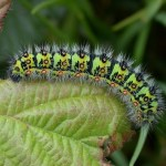 Emperor moth caterpillar (2). Photo by Charles David
