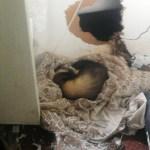 Ferret at Plemont. Photo by Gerardo Garcia
