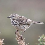 Meadow pipit. Photo by Mick Dryden