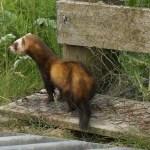 Polecat ferret. Photo by Steve Duffield www.western-isles-wildlife.com