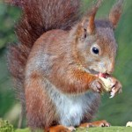 Red squirrel. Photo by Tim Ransom