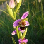 Bee orchid. Photo by Anne Haden