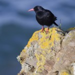 Cornish chough. Photo by Bob Sharples www.bobsharplesphotography.co.uk
