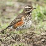 Redwing. Photo by Mick Dryden