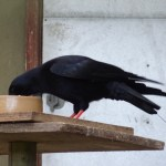 Chough with radio tag on. Photo by Liz Corry
