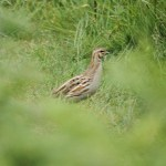 Common quail in Jersey (May 2011). Photo by Mick Dryden