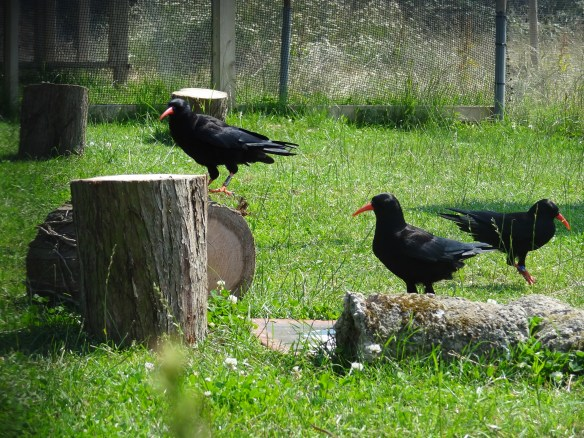 Choughs at Sorel aviary, June 2013. Photo by Liz Corry