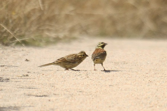 Father and young cirl bunting. 31st July 2013. Photo by Mick Dryden.