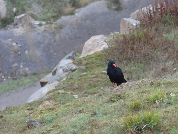 Chough looking for food at Ronez Quarry. Photo by Liz Corry