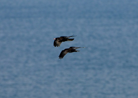 Choughs at Ronez Point. August 2013. Photo by Colin Stevenson