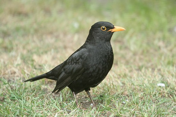 Blackbird. Photo by Mick Dryden