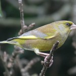Greenfinch in winter. Photo by Mick Dryden