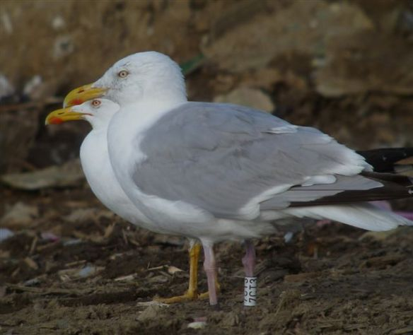 Herring gull with Guernsey Gulls ring W7CT3. Photo by Paul Veron
