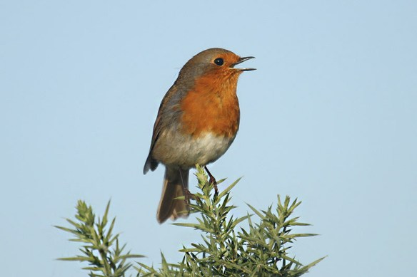 Robin. Photo by Mick Dryden