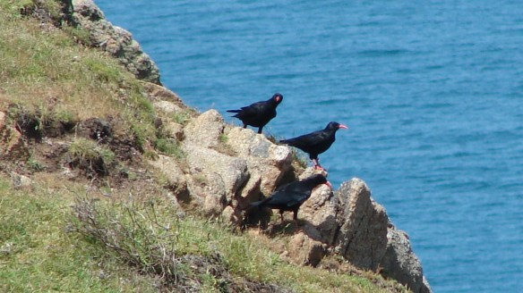 Chough at Sorel. June 2014. Photo by Pierre Rauscher (1)