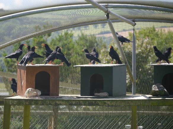 Choughs bred at Paradise Park