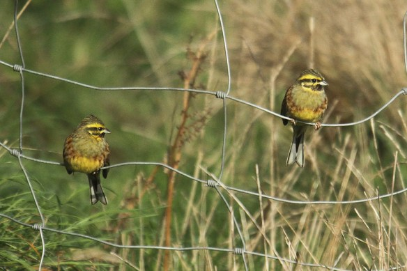 Cirl bunting (5). Photo by Mick Dryden