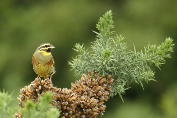 Cirl bunting (7). Photo by Mick Dryden