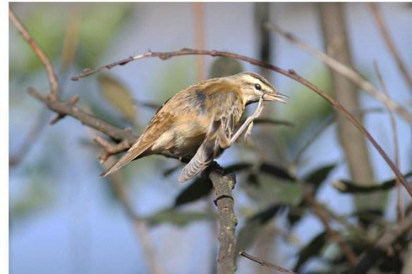 Sedge warbler. Photo by Regis Perdriat